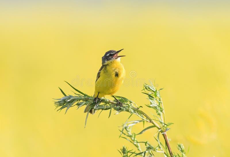 Vogel Bachstelze flog auf einen blühenden Wiesenklee des Sommers und stockfotografie