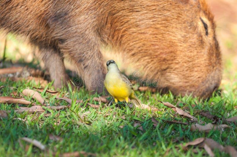 Vogel Bem Te Vi vor einem Capybara, der Fütterung des Grases ist stockfotografie