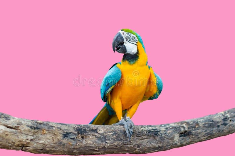 Vogel blauw-en-Gele ara die zich op takken bevinden royalty-vrije stock afbeelding