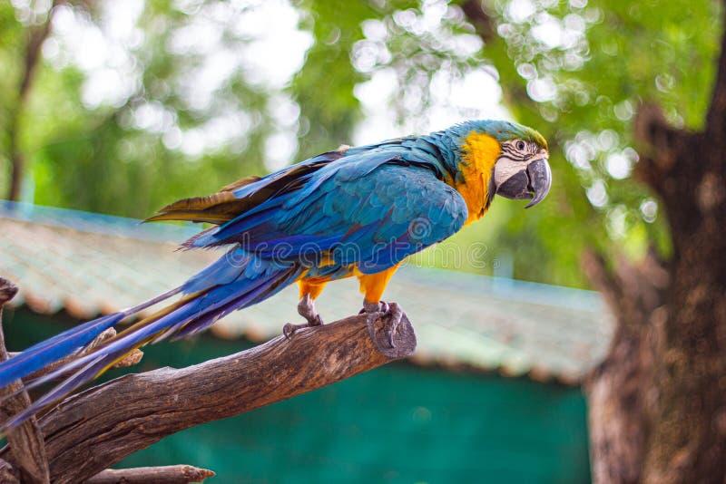 Vogel blauw-en-Gele ara die zich op takken bevinden royalty-vrije stock afbeeldingen