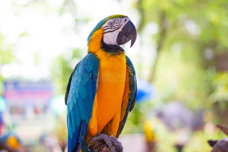 Vogel blauw-en-Gele ara die zich op takken bevinden stock foto's