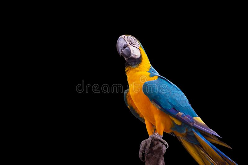 Vogel blauw-en-Gele ara die zich op takken bevindt royalty-vrije stock foto