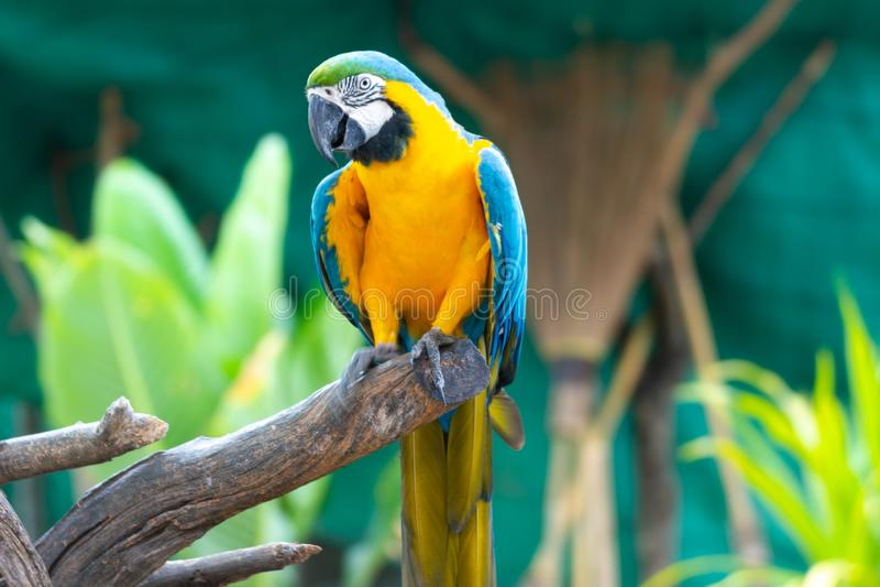 Vogel Blauwe en gele Ara op een tak van boom stock afbeelding