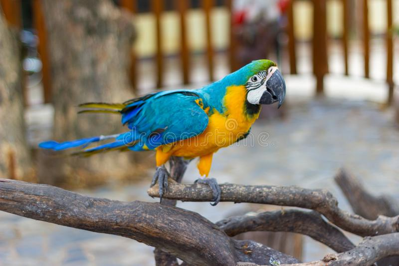 Vogel Blauwe en gele Ara op een tak van boom royalty-vrije stock afbeeldingen