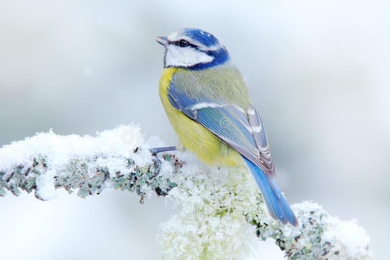 Vogel Blauwe Mees in bos, sneeuwvlokken en aardige korstmostak Het wildscène van aard Detailportret van mooie vogel, Frankrijk, royalty-vrije stock foto's