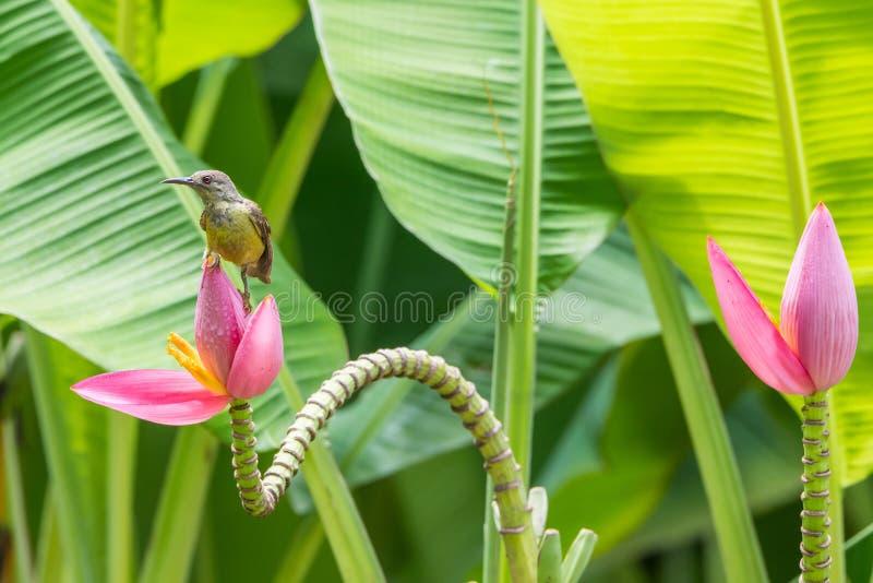 Vogel (bruin-Throated sunbird) op banaanbloem royalty-vrije stock foto