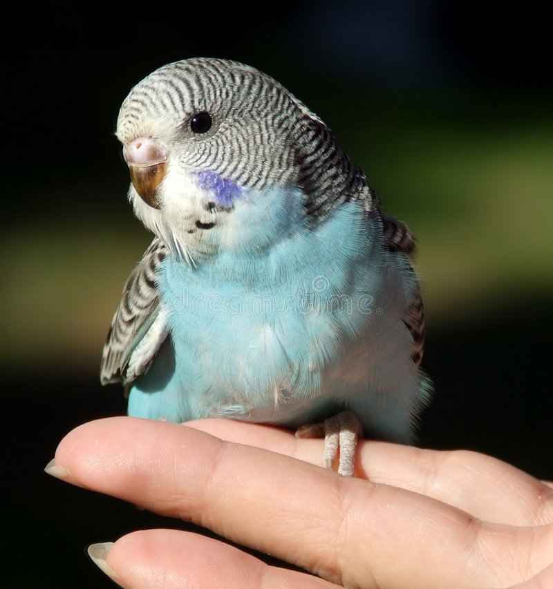 Vogel - Budgeriegar stockbilder