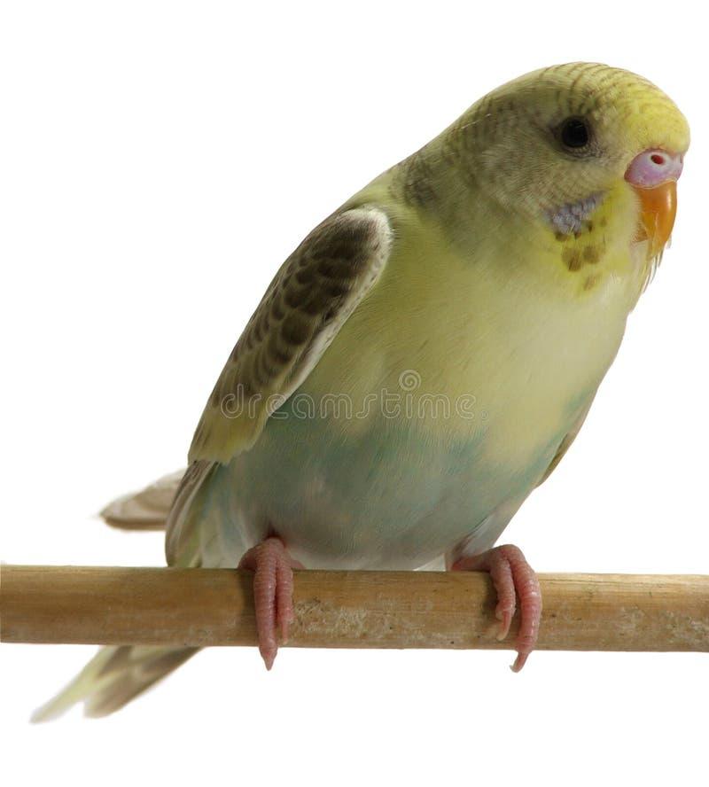 Vogel - Budgie stock afbeeldingen
