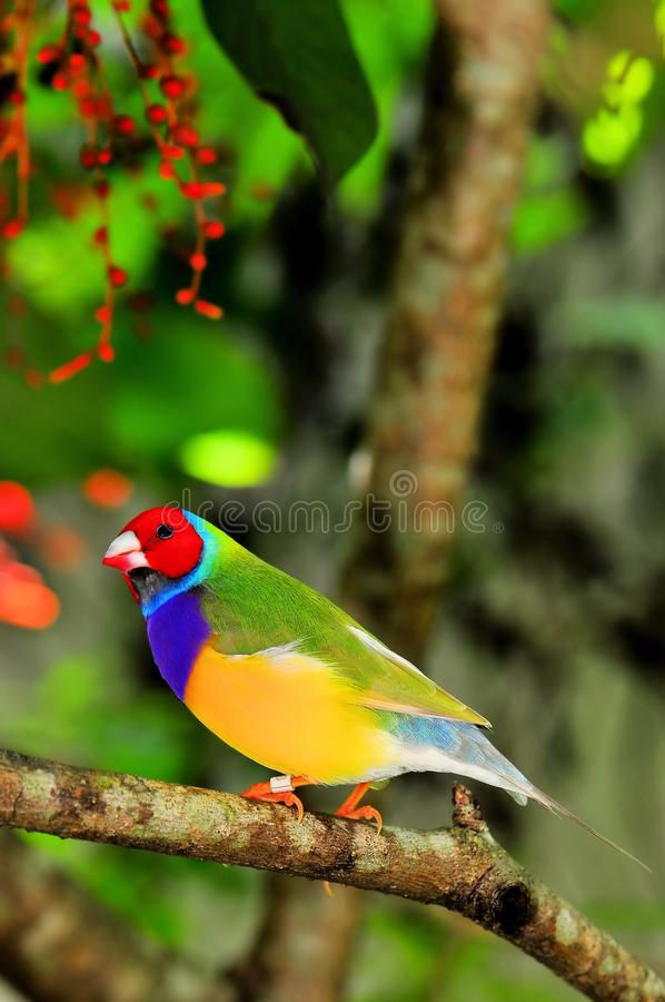 Vogel Dame Gouldian Finch hockte auf Niederlassung, Florida stockbild