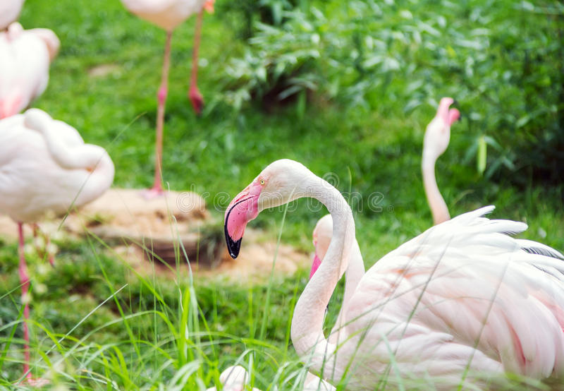 Vogel das James-` s Flamingo Phoenicoparrus-jamesi oder des Puna-Flamingos stockfotos