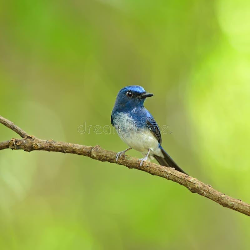 Vogel (de Blauwe Vliegenvanger van Hainan), Thailand stock afbeeldingen