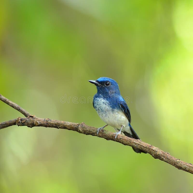Vogel (de Blauwe Vliegenvanger van Hainan), Thailand royalty-vrije stock afbeeldingen