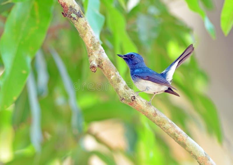 Vogel (de Blauwe Vliegenvanger van Hainan), Thailand royalty-vrije stock foto's