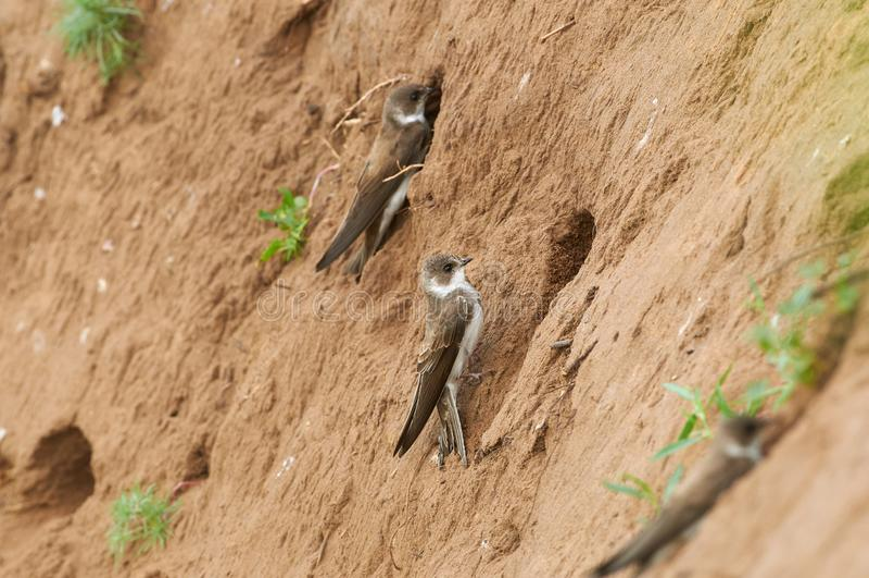Vogel, de ingezeten van steile kusten, zand Martin, zit op de bank van zandsteengroeve dichtbij zijn hol tijdens het het fokkense royalty-vrije stock afbeelding