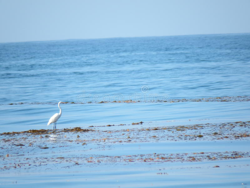 Vogel de Jacht voor Voedsel bij Strand royalty-vrije stock foto