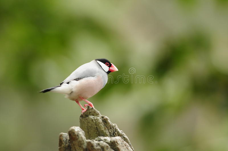 Vogel --- de mus van Java royalty-vrije stock foto