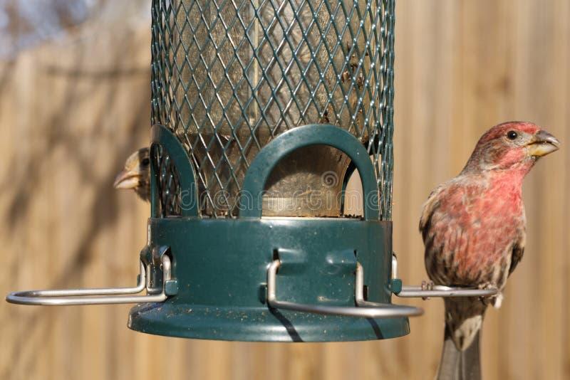 Vogel, der an der Hinterhofzufuhr einzieht lizenzfreies stockfoto