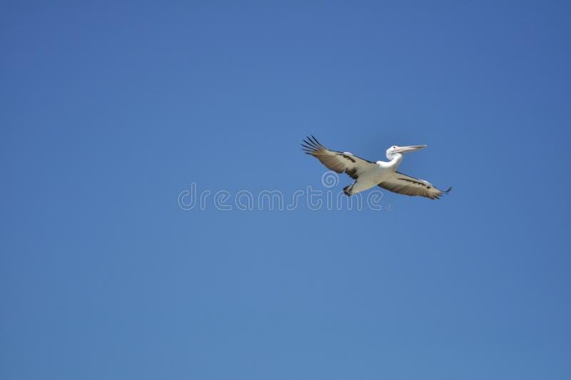 Vogel, der frei in blauen Himmel fliegt stockfotografie