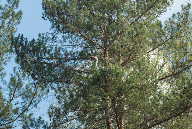 Vogel, der hinter Busch der Kiefers sich versteckt lizenzfreies stockbild