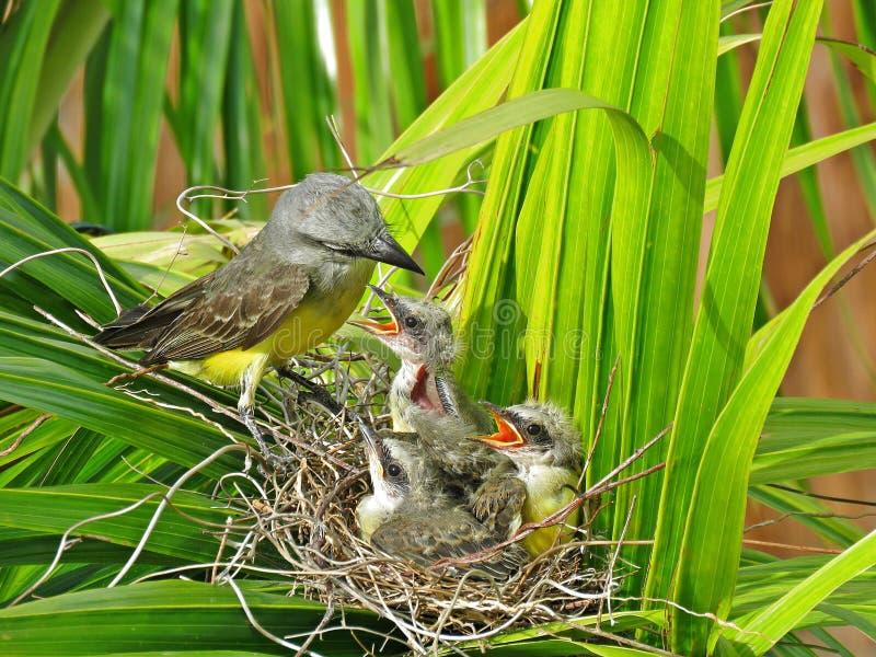 Vogel, der ihr wenig Baby ` s im Nest einzieht stockfoto