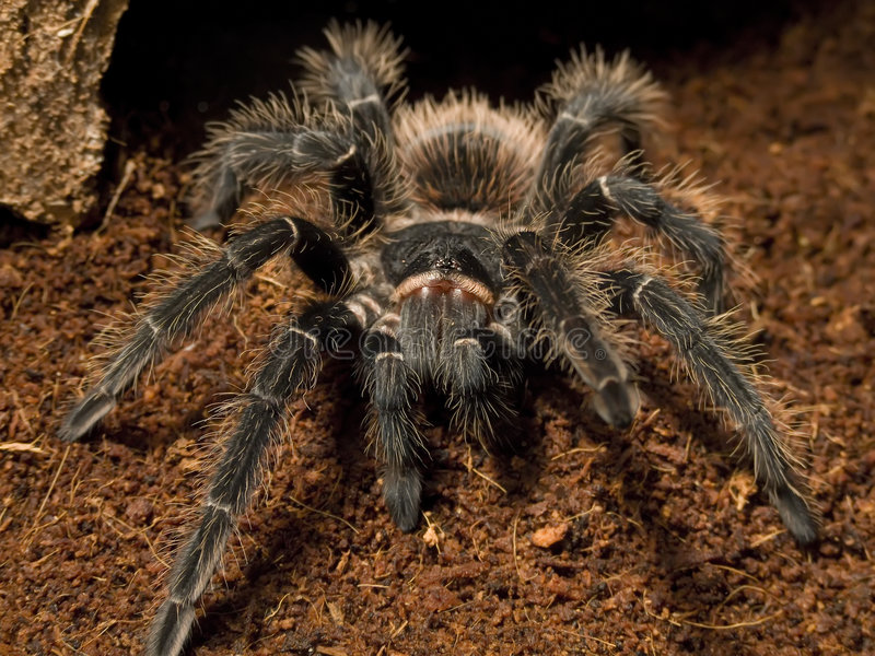 Vogel, der Spinne isst stockfoto