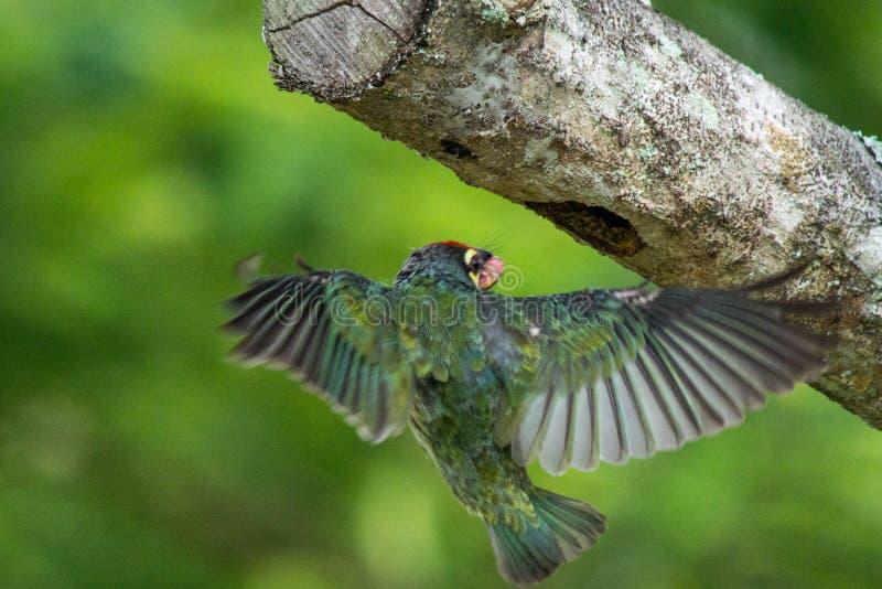 Vogel, der zurück fliegt, um mit den Flügeln zu nisten erschlossen stockfoto