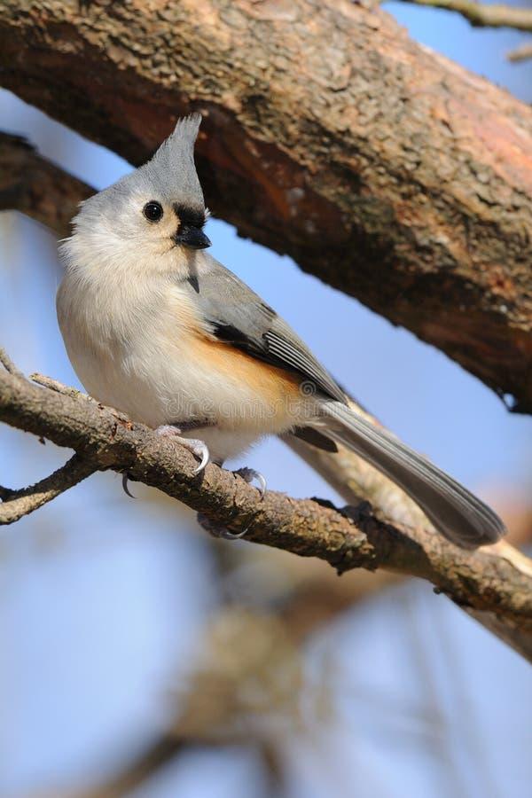 Vogel des büscheligen Titmouse auf Zweig lizenzfreies stockbild
