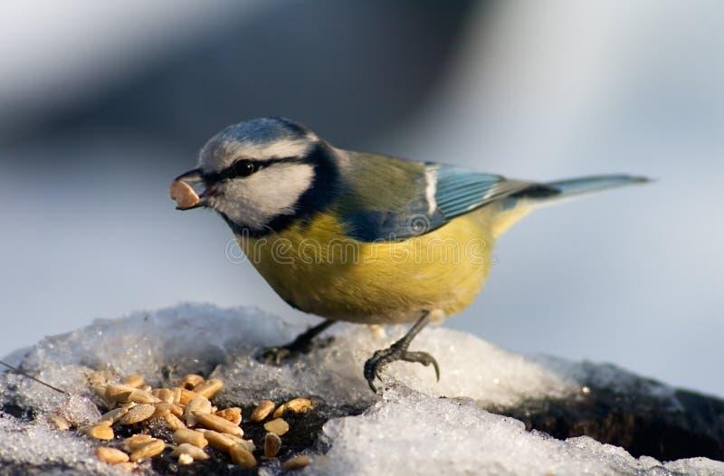 Vogel des blauen Tit, der Startwerte für Zufallsgenerator isst lizenzfreies stockfoto