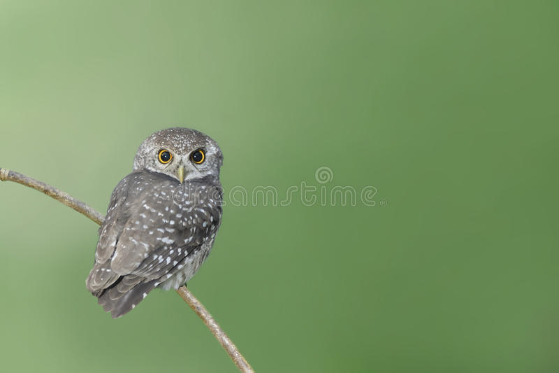 Vogel die (bevlekte jonge uil) op tak neerstrijken stock foto