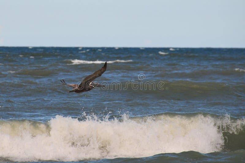 Vogel die boven Golf vliegen stock afbeelding