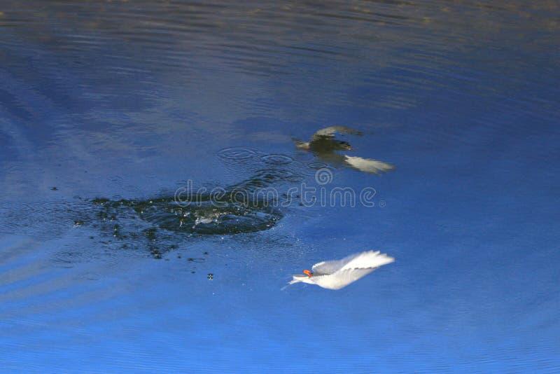Vogel die en in het water vissen nadenken stock afbeeldingen