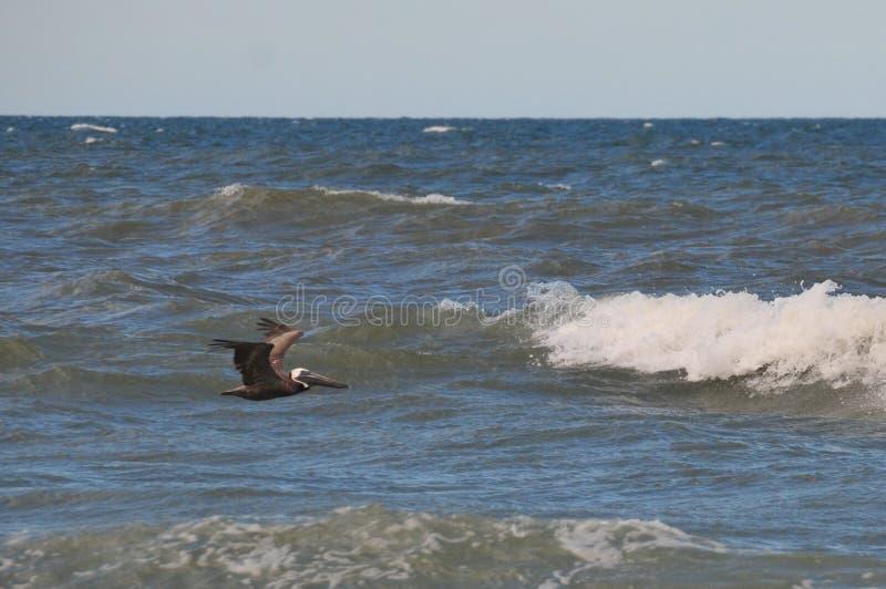 Vogel die over de oceaan vliegt stock foto