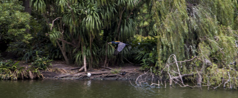 Vogel die over een meer in Centenial-park, Sydney vliegen royalty-vrije stock foto