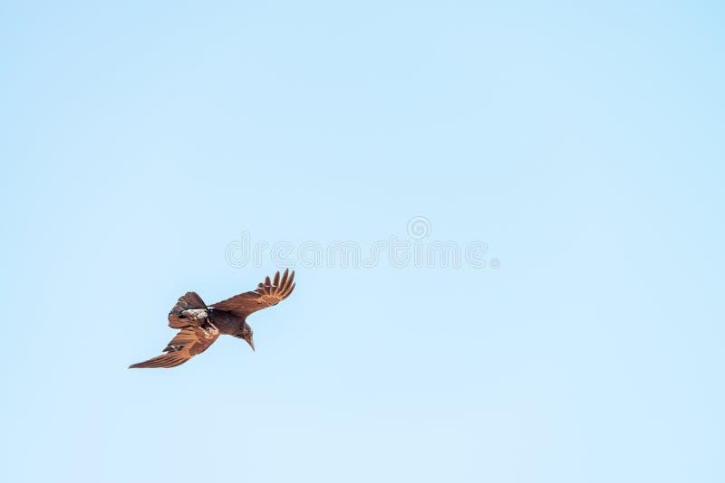 Vogel die over een vallei klaar om een prooi te vangen vliegen stock foto