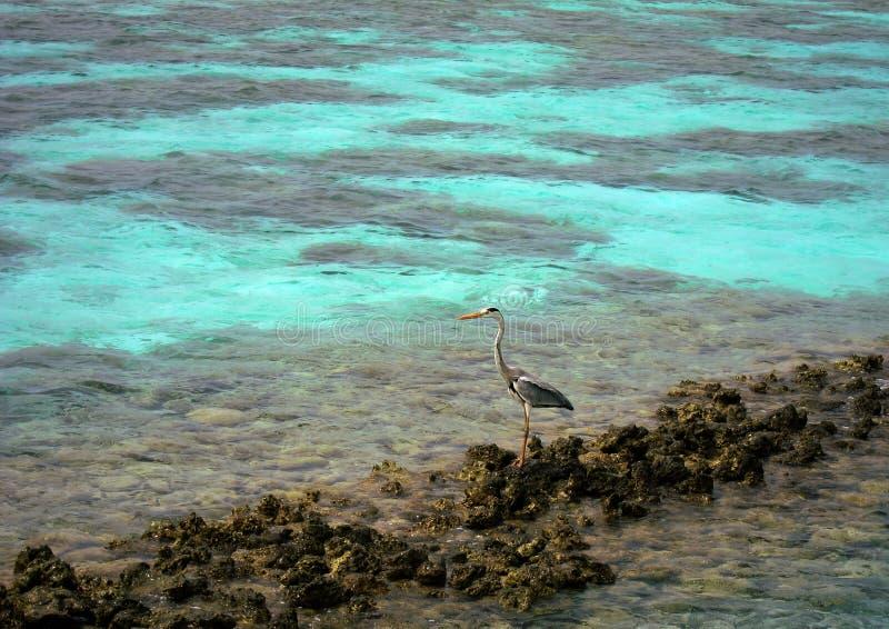 Vogel die zich op de rotsen in de Maldiven bevinden royalty-vrije stock afbeelding