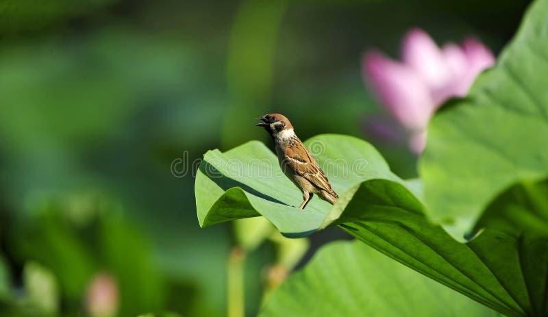Vogel die zich op een lotusbloemblad bevindt royalty-vrije stock foto