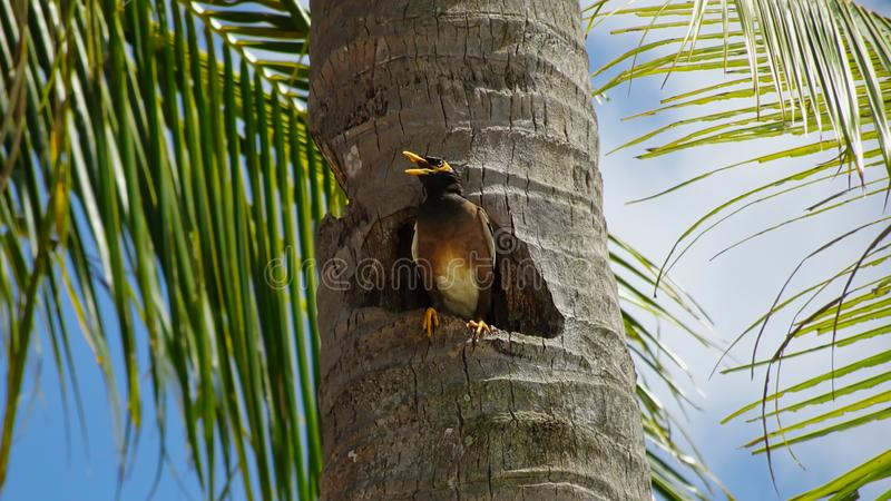 Vogel in een gat van een palm in Langkawi royalty-vrije stock foto