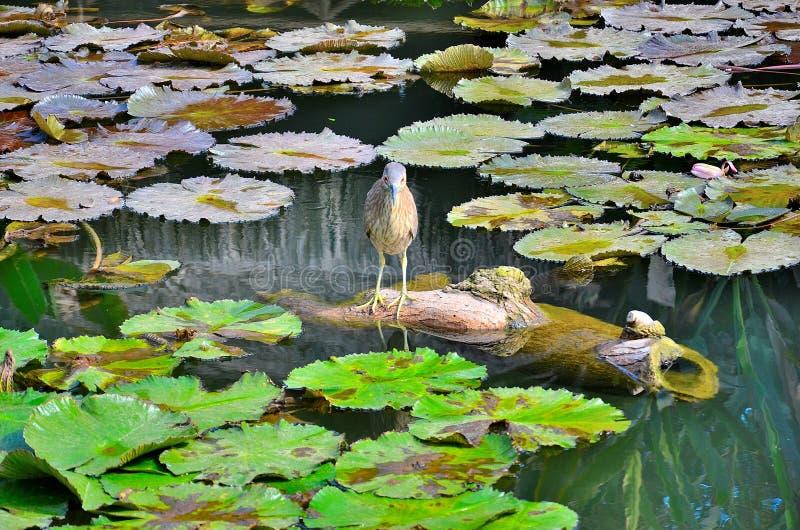 Vogel in een waterlelie stock foto