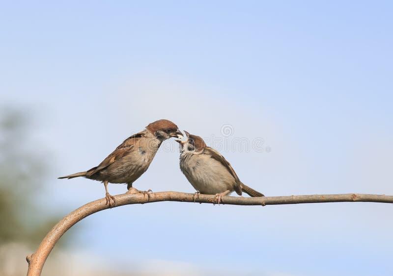 Vogel ein Spatz, der sein hungriges kleines Küken auf einer Niederlassung einzieht stockfotos