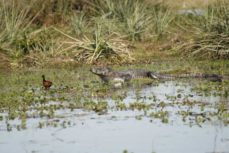 Vogel en krokodil royalty-vrije stock foto
