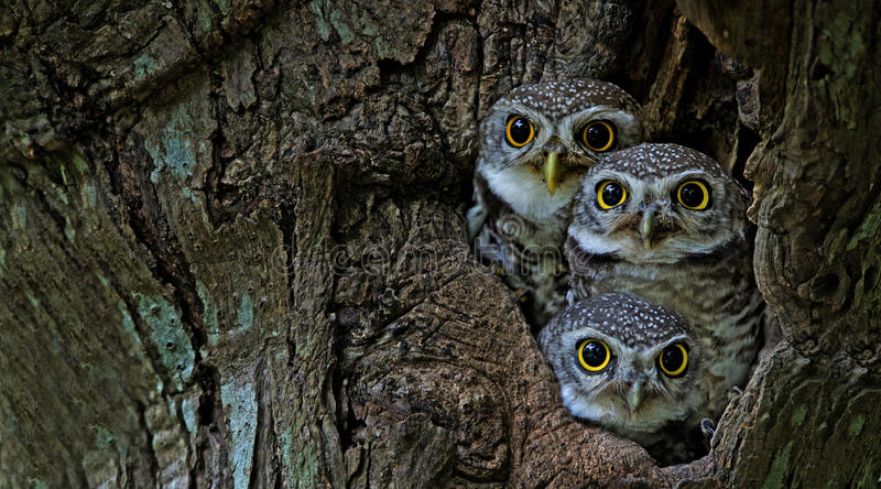 Vogel, Eule, drei beschmutzte Brama Athene der jungen Eule in der Baumhöhle lizenzfreies stockfoto