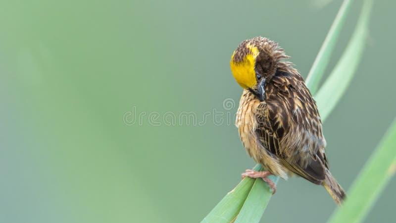 Vogel (gestreifter Weber) auf Baum in einer Natur wild lizenzfreie stockbilder