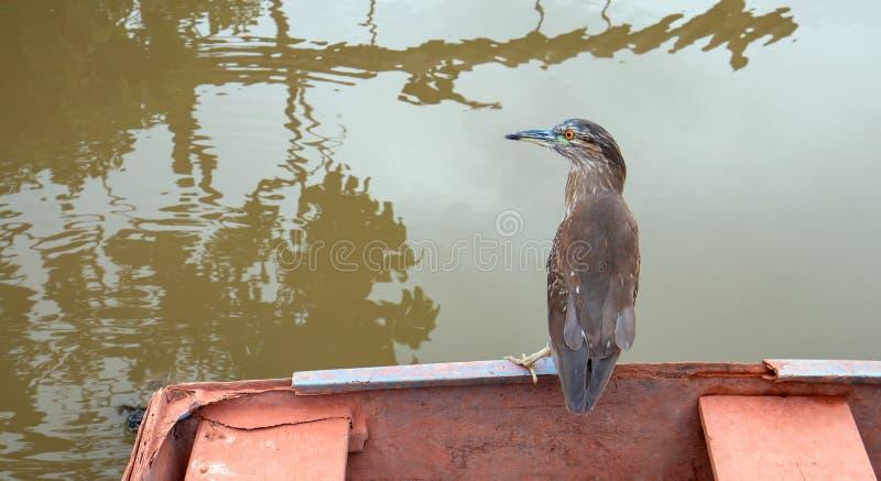 Vogel - gestreiftes grünes unterstütztes Reiher butorides striata gehockt auf Seeboot stockfoto