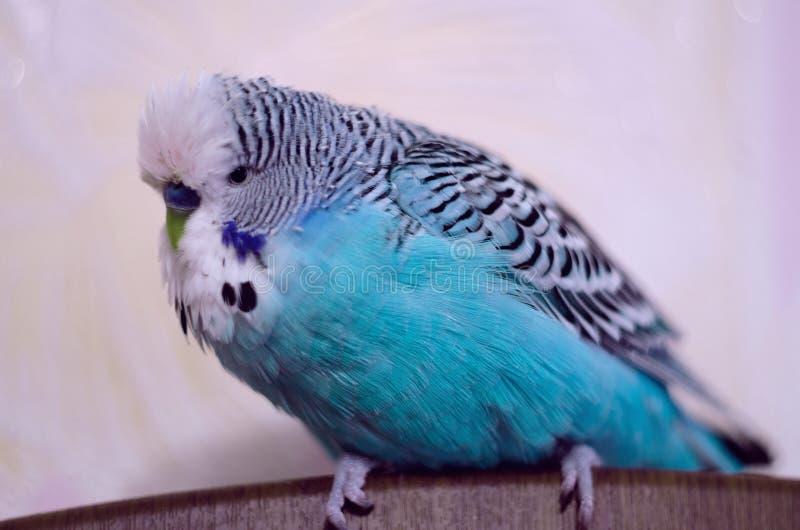 Vogel, gewellter Papagei, schönes Blau lizenzfreies stockbild