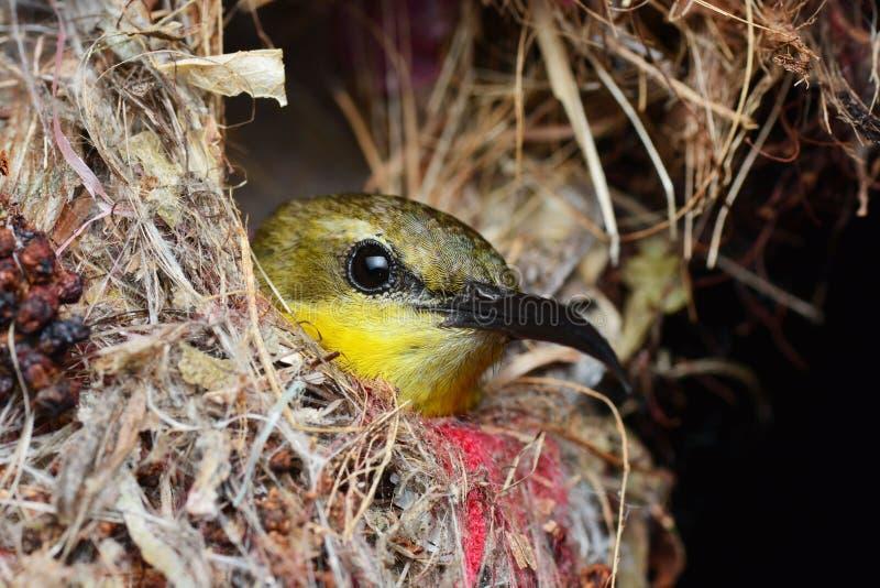 Vogel in het nest royalty-vrije stock afbeelding