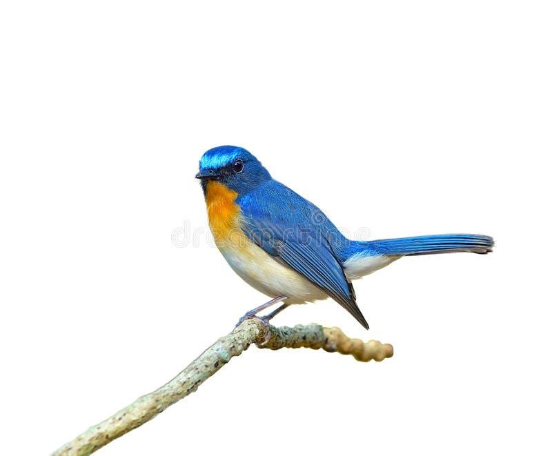 Vogel (Heuvel Blauwe die Vliegenvanger) op witte achtergrond wordt geïsoleerd stock afbeeldingen