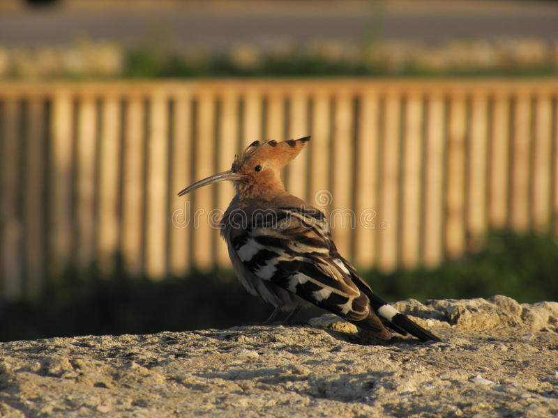 vogel Hoopoe royalty-vrije stock fotografie