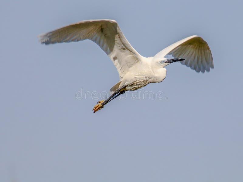 Vogel im Flug lizenzfreies stockfoto