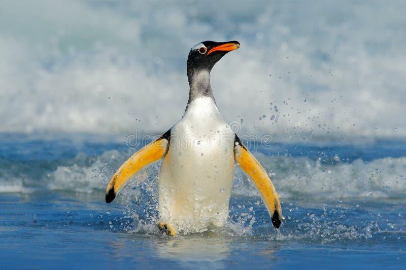 Vogel im Wasser Gentoo-Pinguin springt vom blauen Wasser beim Schwimmen durch den Ozean in Falkland Island, Vogel im nationalen h lizenzfreie stockfotografie