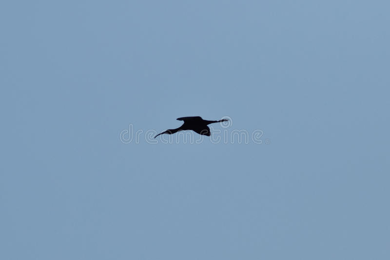 Vogel jagen Schnepfen lizenzfreies stockfoto